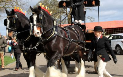 Magnificent Shire and dray trot into Stafford to promote world's largest gathering of Shire horses