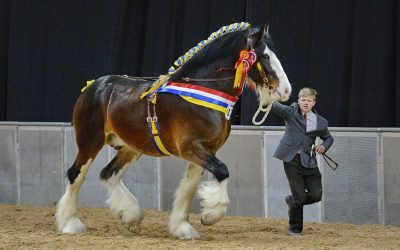World's largest gathering of Shire horses trots into Staffordshire